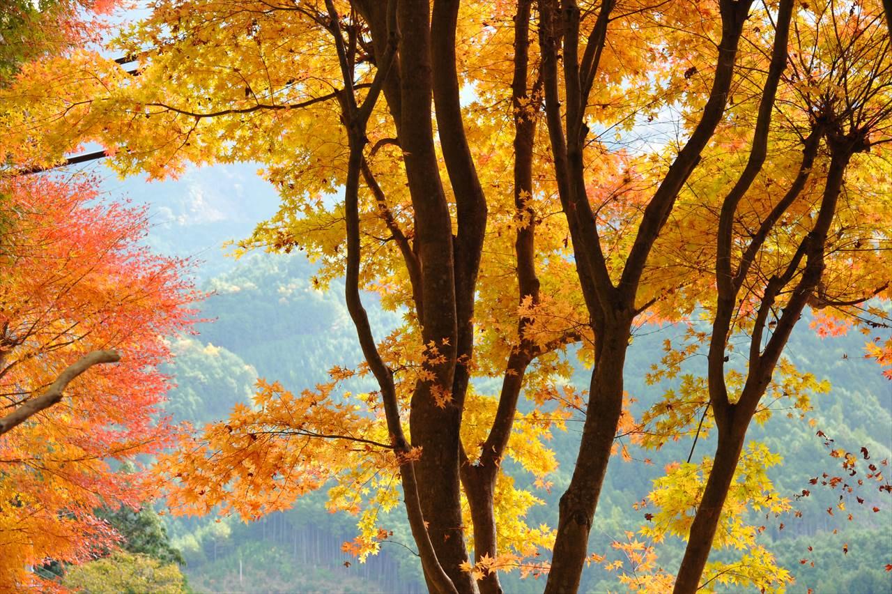 とがの木茶屋の紅葉