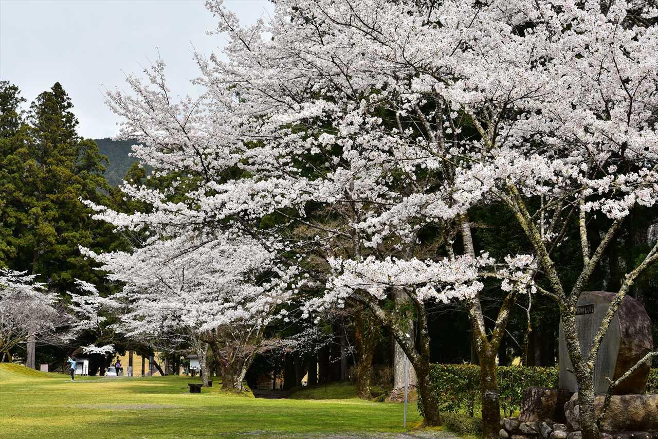 大斎原の桜