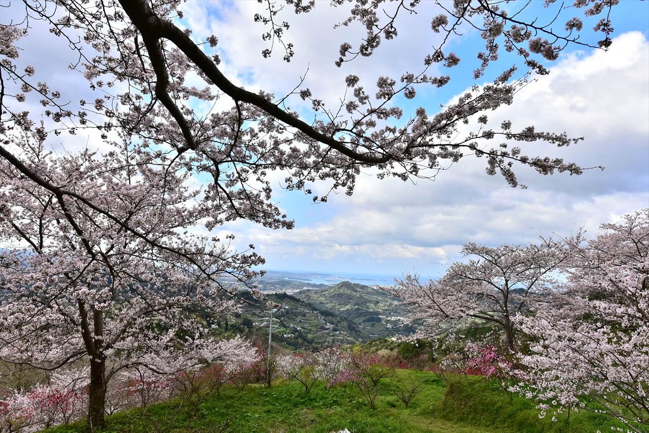 ひるね茶屋の桜