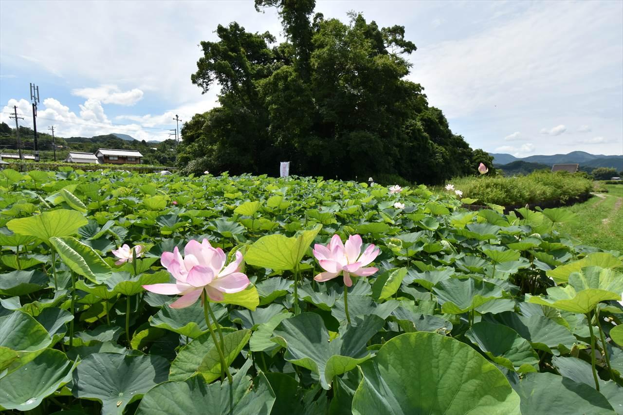 田中神社のオオガハス