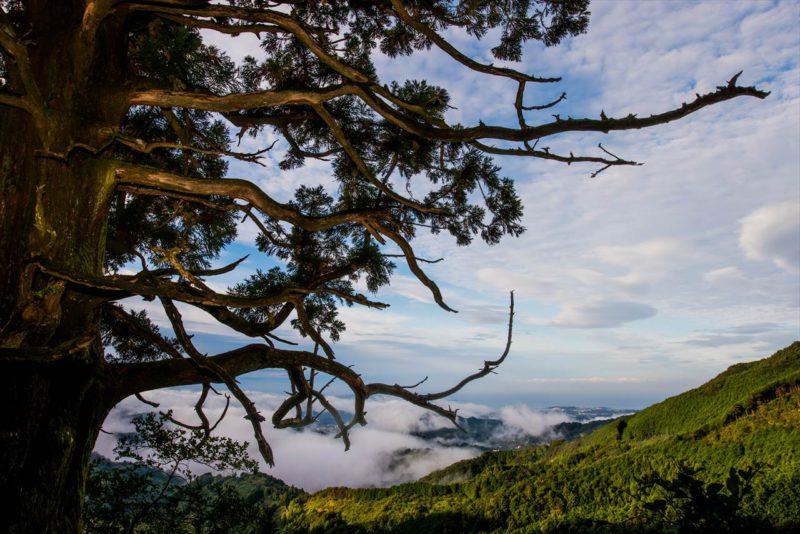 捻木の杉と雲海