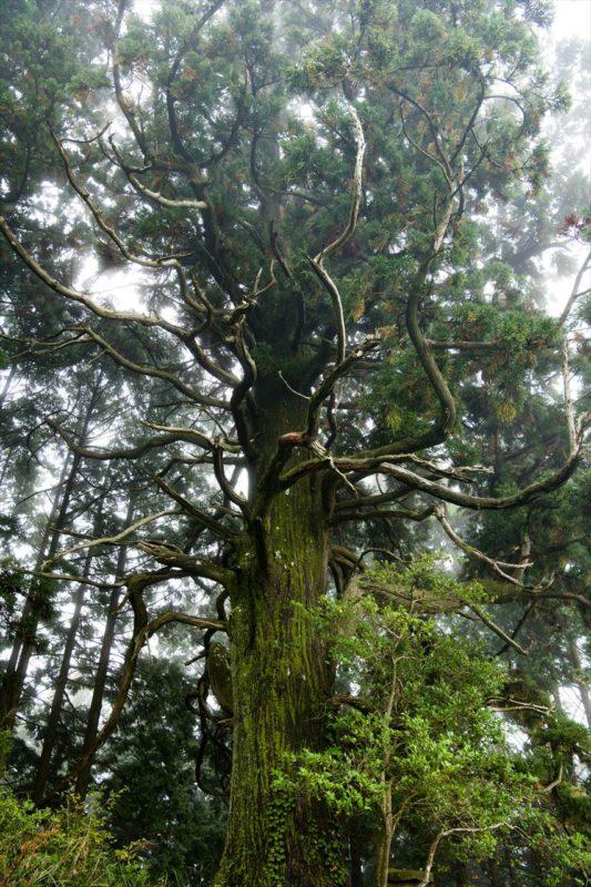 雨の捻木の杉