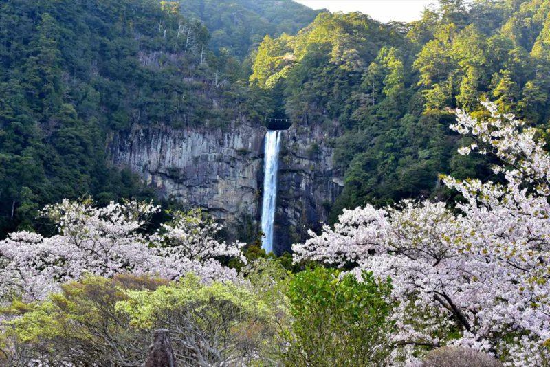 桜咲く那智山