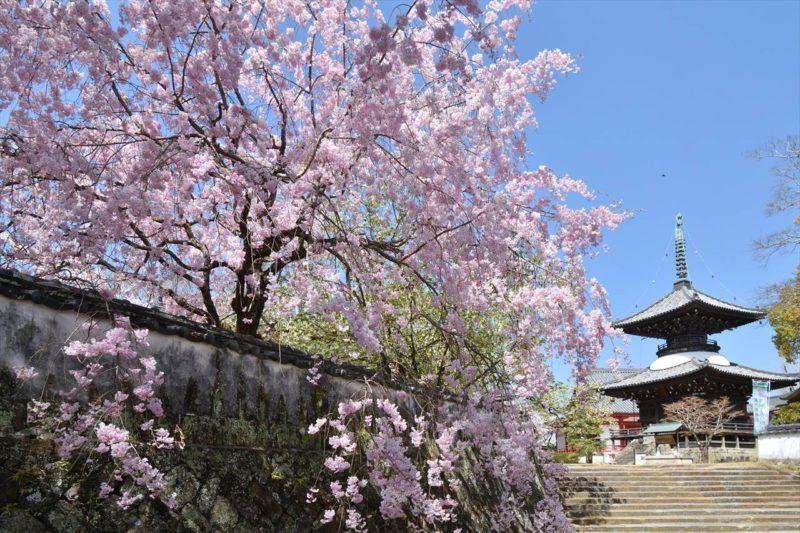 高山寺の桜