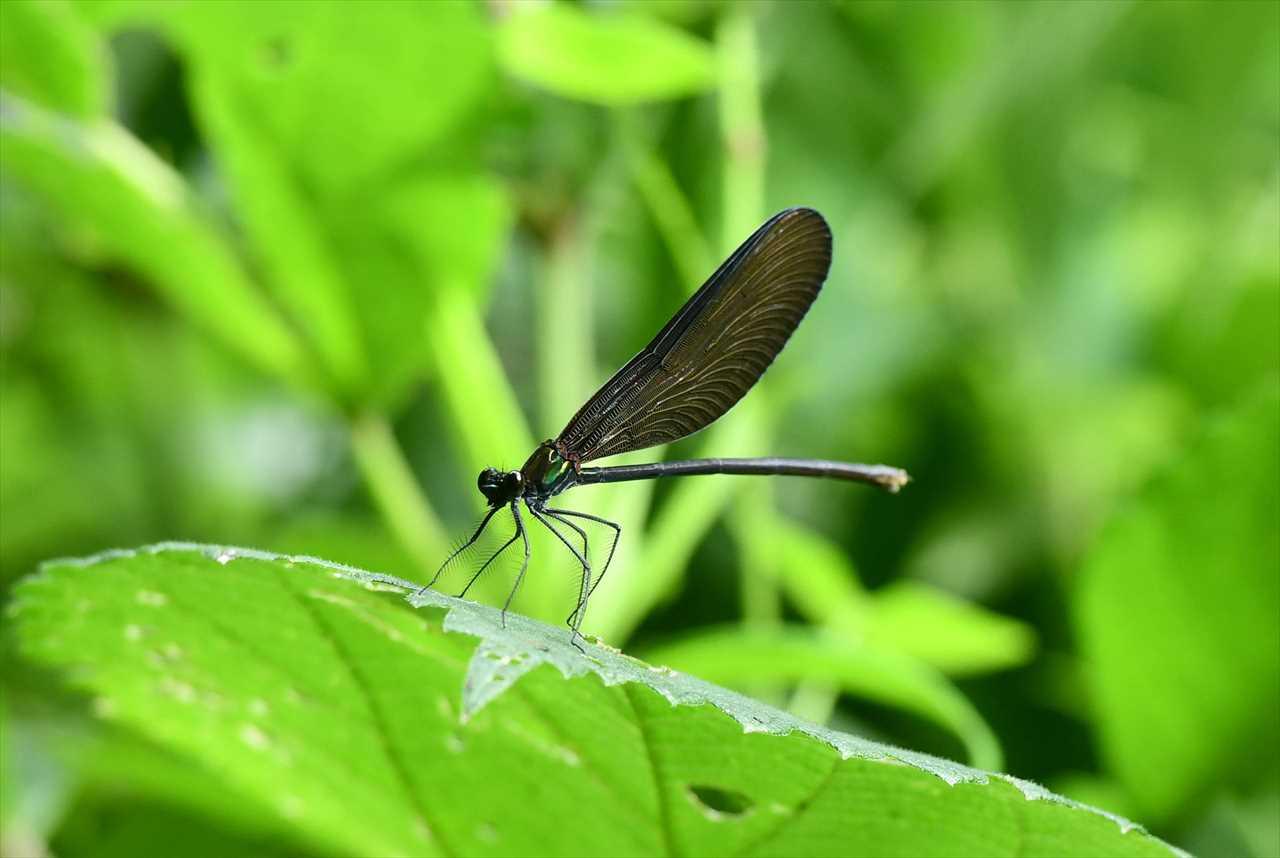 トンボ の 黒い 羽